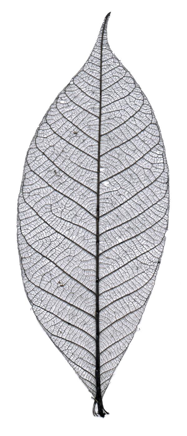 Leaf big
